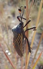 Giant Mesquite Bug (Thasus gigas) - Chinche; entre La Cienega de Escobar & Santiago Papasquiaro, Durango, Mexico