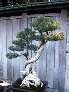 Huntington Library Japanese Bonsai Garden 0078 | by DominusVobiscum