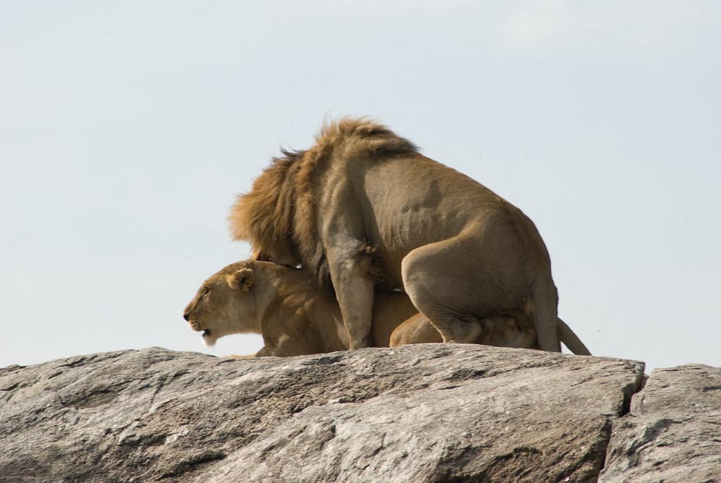 Lion Porn Pics