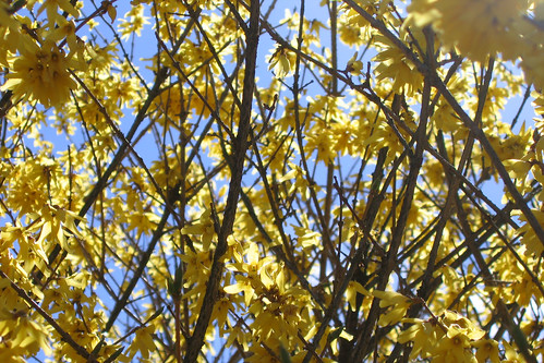 Forsythia  In Your Face | by kleepet
