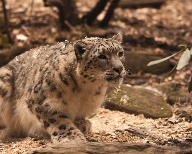 bz_snow_leopard_2-27-09_9076_resized