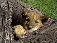 Lion cub falling asleep
