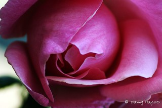 THE ROSE   by smortaus