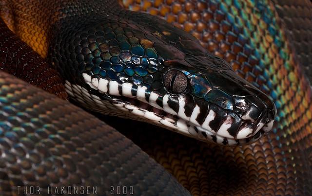 Leiopython albertisii - White-lipped Python