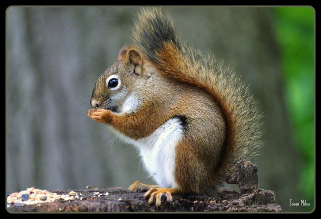 Red Squirrel Lunching