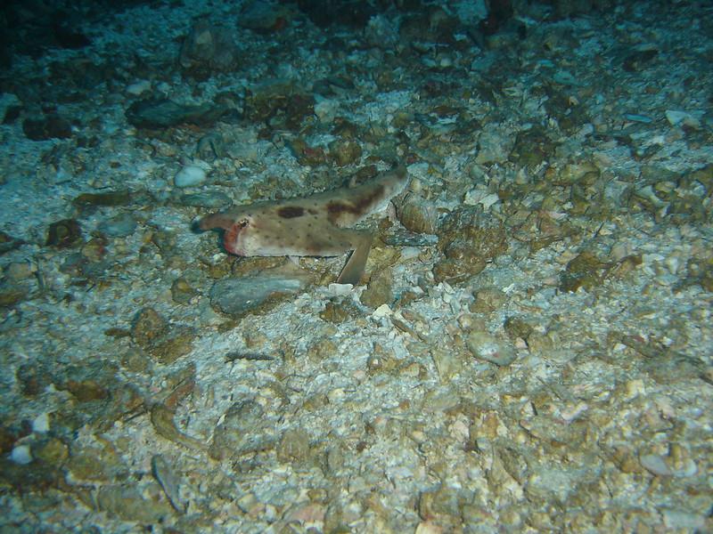 Pez Murciélago - Bat Fish