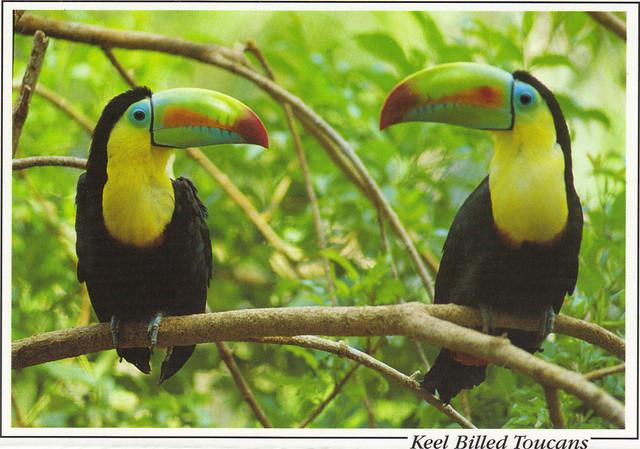 Keel Billed Toucans Postcard
