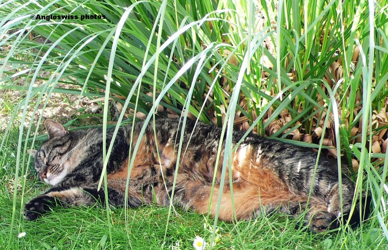 Tabby in the pampas