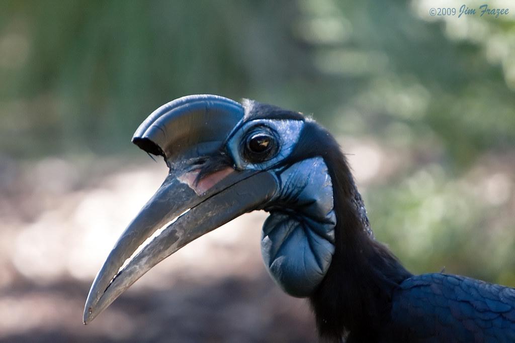 Abyssinian Ground Hornbill (female) by Jim Frazee