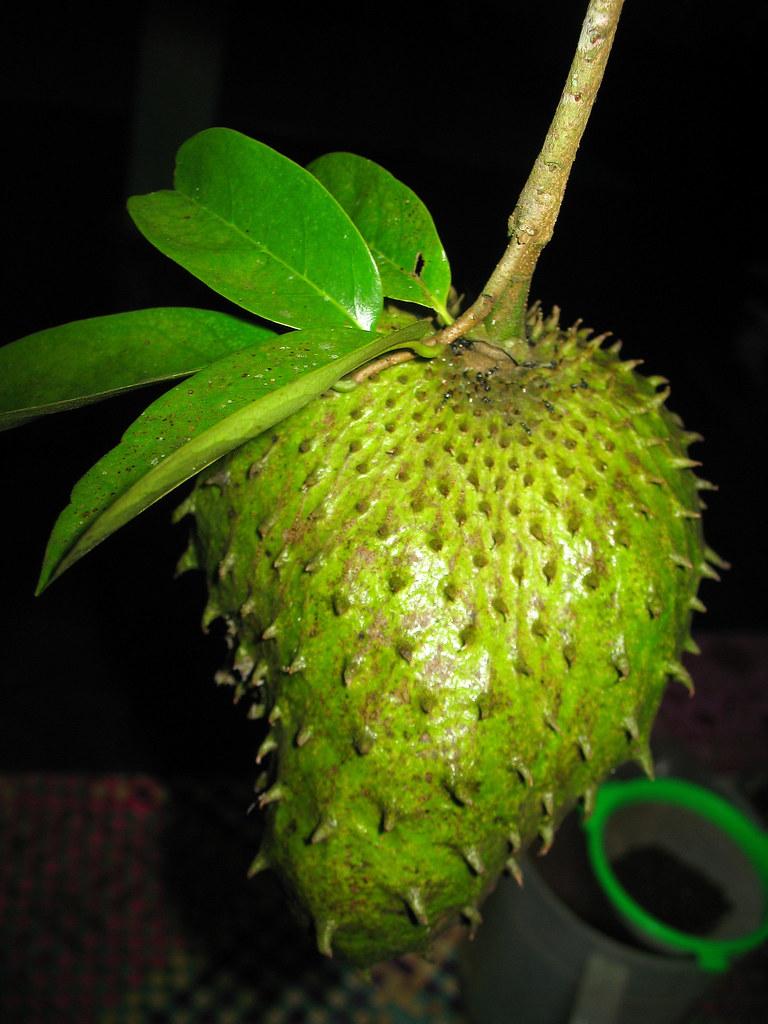 86+ Gambar Akar Durian Belanda Paling Hist