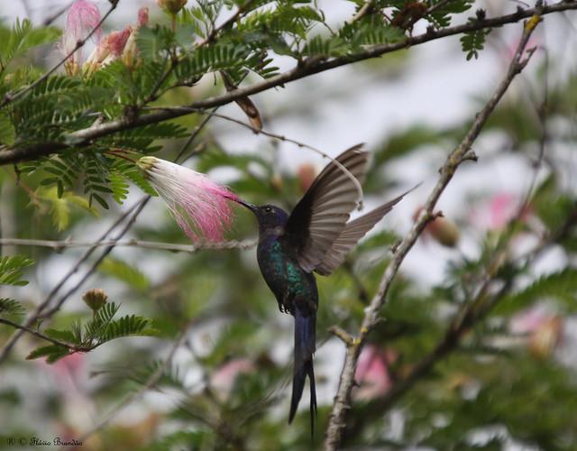 Série com Beija-flor Tesoura (Eupetomena macroura) - Series with the Swallow-tailed Hummingbird - 25-04-09 - IMG_4522