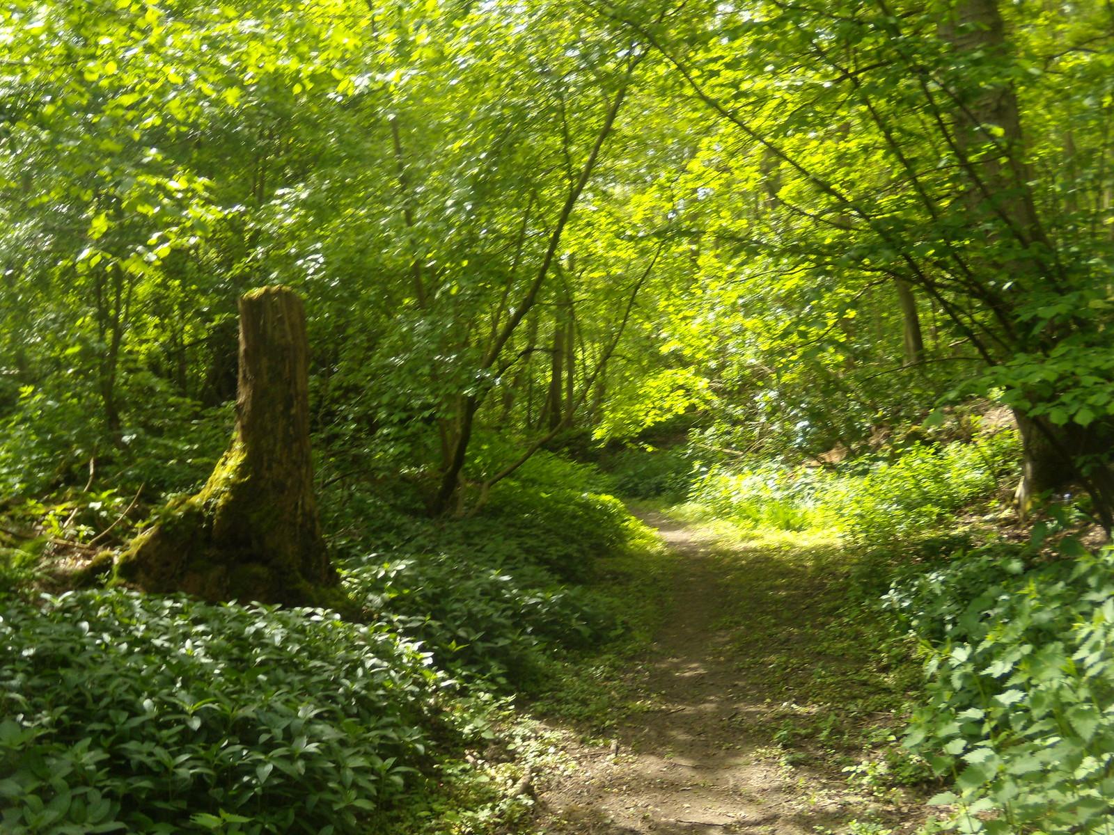Woodland scene Wakes Colne to Bures
