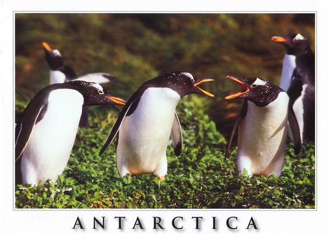 Gentoo Penguins Antarctica Postcard