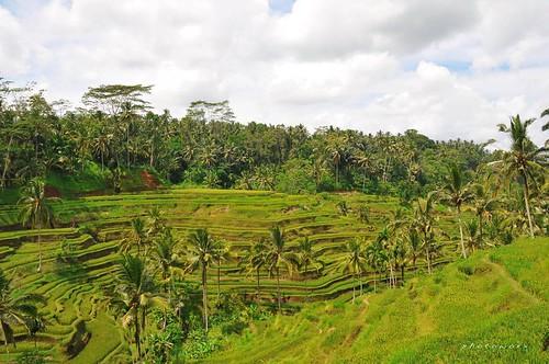Green Rice Field | by richkey