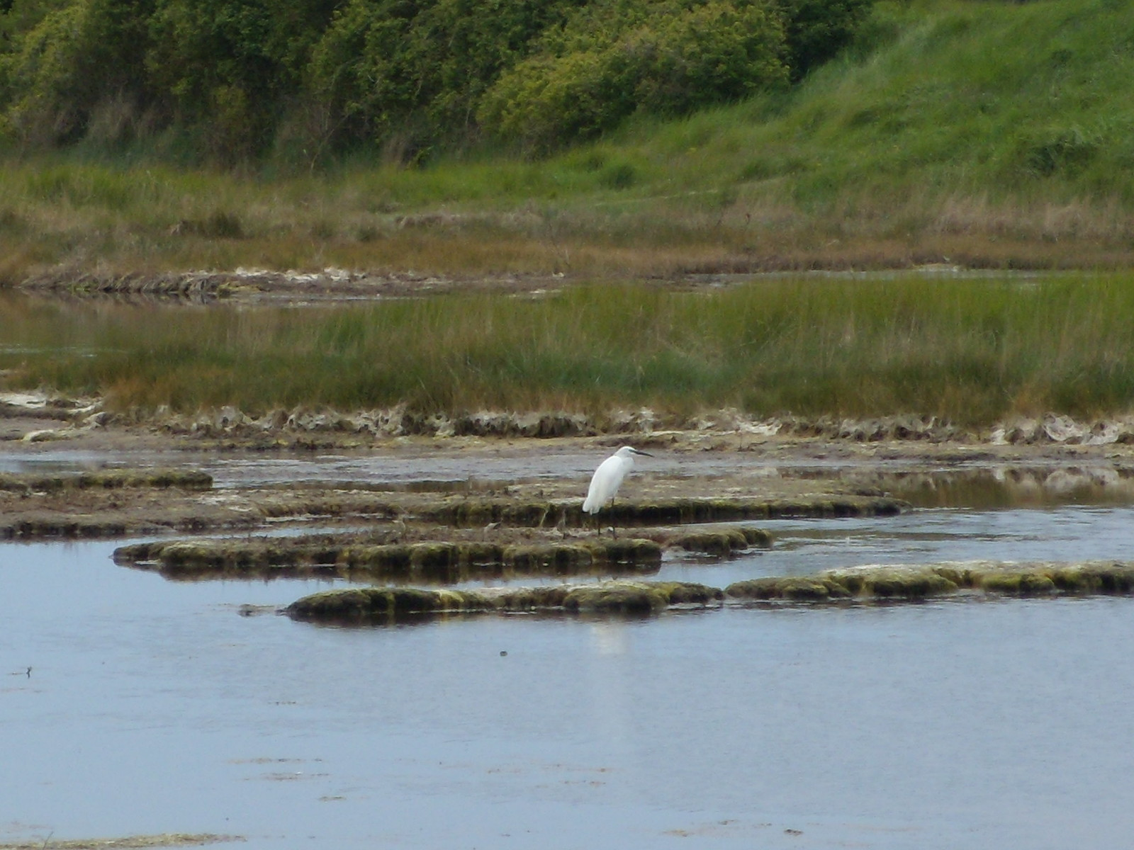 Little Egret 2 Seaford to Eastbourne Cuckmere Haven