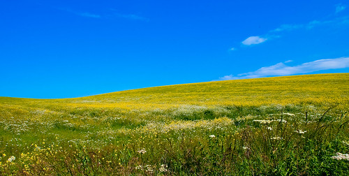 Rape field | by Thomas Tolkien