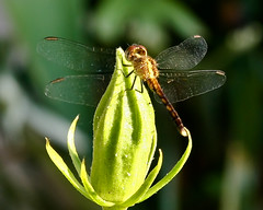 Dragonfly | by Stepwise Photography