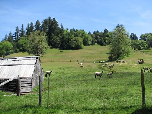 ranch sheep greatpyrenees willits schmidbauerranch heritageranchtour