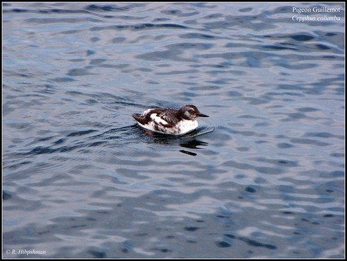 Pigeon Guillemot (Cepphus columba) | by Crappy Wildlife Photography