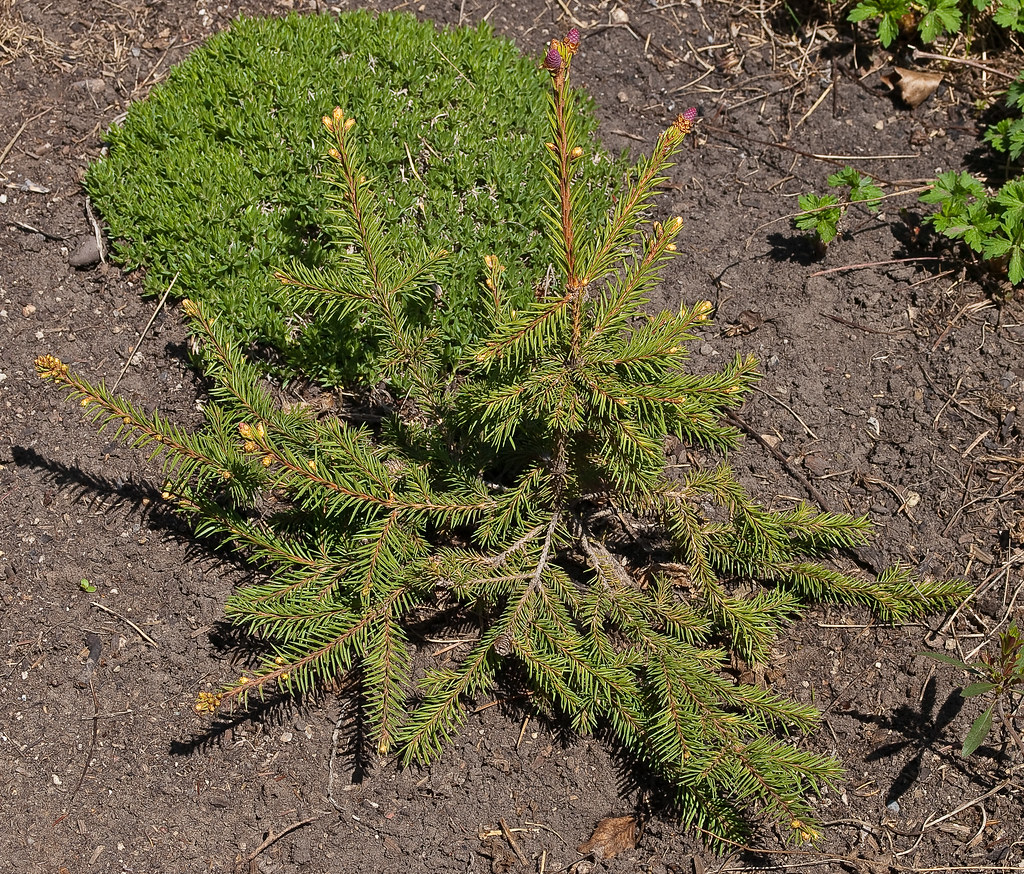 Picea Abies Pusch Dwarf Norway Spruce Picea Abies Pus Flickr