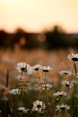 sunset flower dof bokeh depthoffield wildflower gi