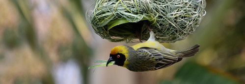 bird_nest_vireo_weaver