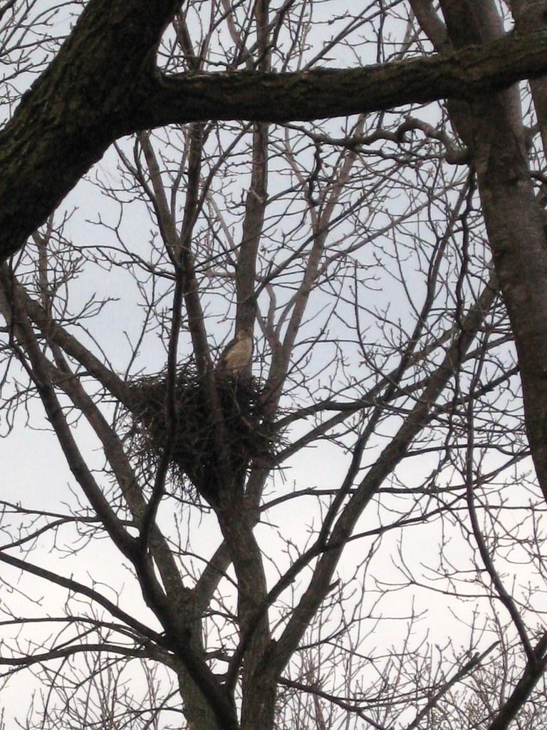 Cooper's Hawk on nest in backyard