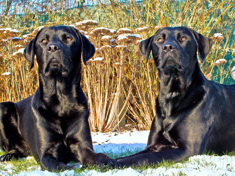 Zwei Schwarze Labradore