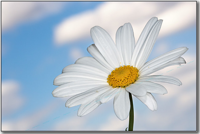 Margarita sobre cielo azul / White daisy on blue sky background