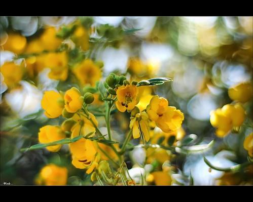 flowers golden searchthebest bokeh explore shrub nikkor50mm18 nikond80