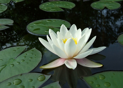 WHITE WATER LILY | by carl & tracy gossett