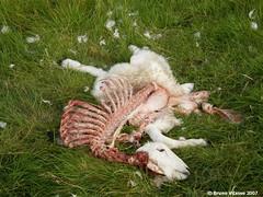 Dead sheep   by chupacabra.art