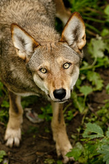 Red Wolf | by abeams