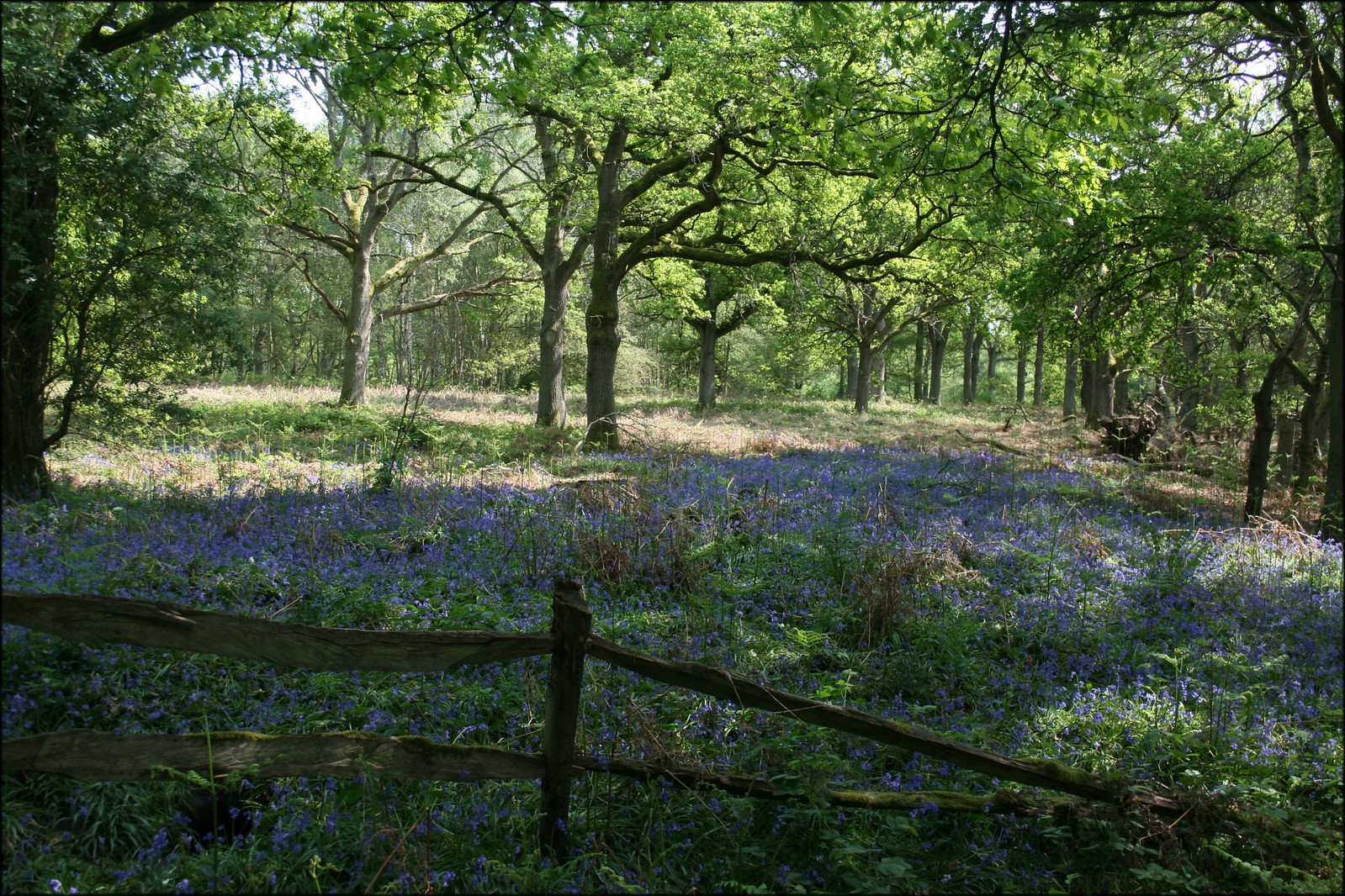 Bluebells on Hambledon Common