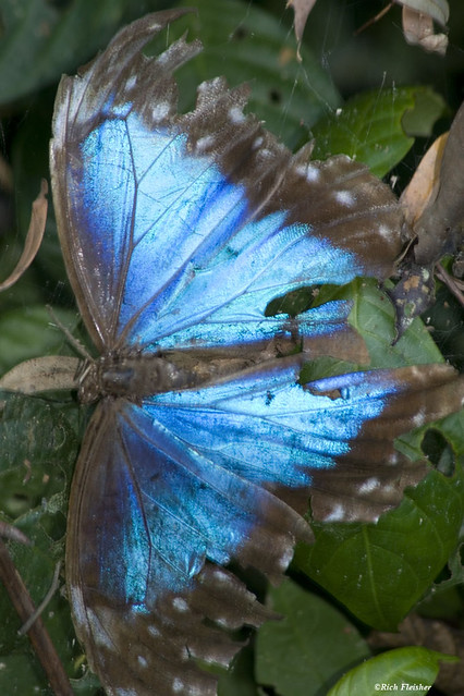 Peru_Butterfly_7821_resized-1