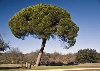 pino invernal (pino piñonero - Pinus pinea) | by R.Duran