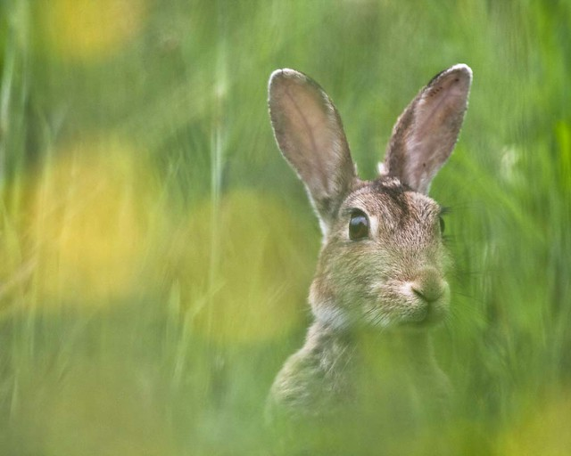 Young Hare....