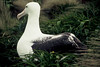 Southern Royal Albatross on the nest - Campbell Island 1 by markfountain52
