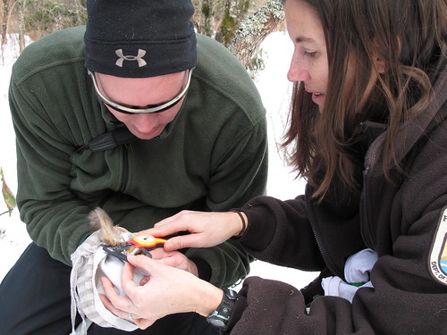NC biologist Kendrick Weeks and Service biologist Sue Cameron measuring the hind foot of a Carolina northern flying squirrel, January 2010 | by USFWS/Southeast