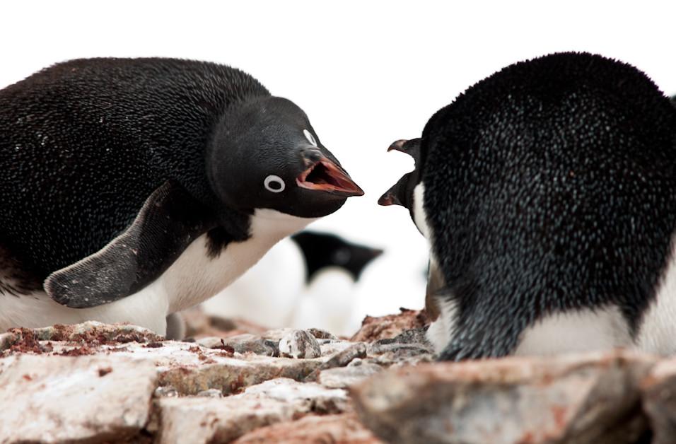 Penguino Pelea