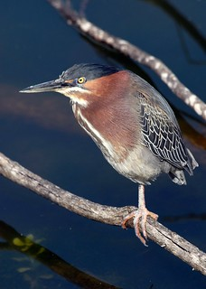 Green Heron | by birding4ever