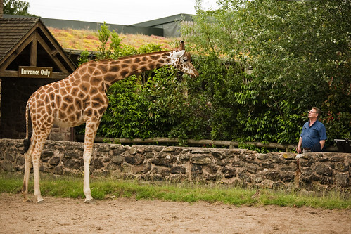 Giraffe and man | by snorfalorpagus