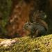 Flickr photo 'Tamiasciurus douglasii' by: Blake Matheson.