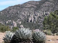 Agave Papalomé; entre Altares y La Herrera; Durango, Mexico