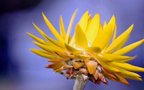 flowers flower yellowflower bloom blooms yellowflowers strawflower strawflowers westerndreamer candidcapturesphotography