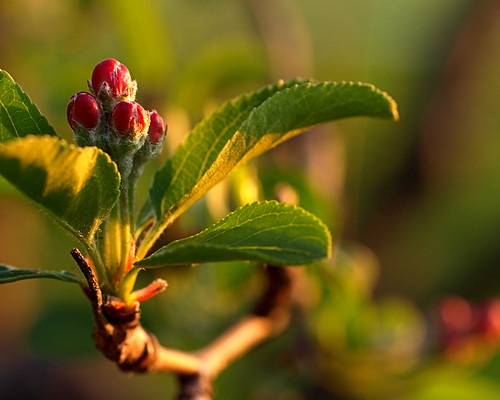 sun flower minnesota dawn warm rochester bud ent floweringtree dawnlight floweringcrabapple fusedbuds twicerenewed