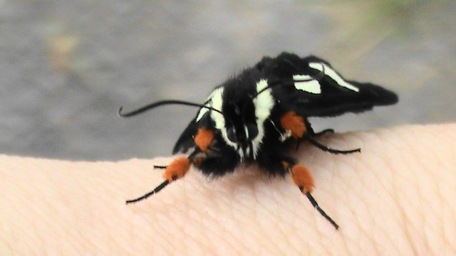 Small Black Moth With White Spots On My Left Arm Wide Scre