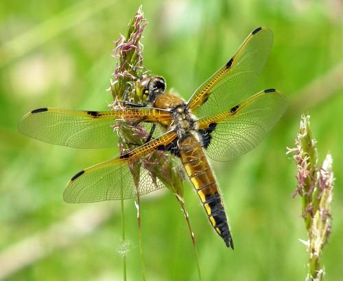 gold dragonfly libellula odonata fourspottedchaser libellulaquadrimaculata quadrimaculata fourspottedskimmer