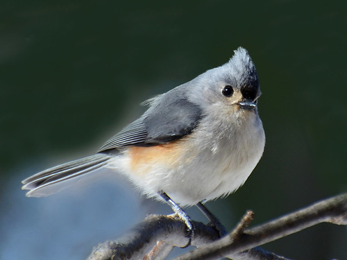 Tufted Titmouse | by AcrylicArtist