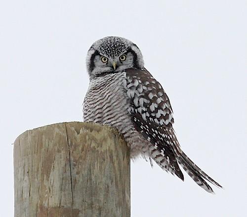 birds country farm owl raptor rarebird rarity